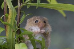 Free Harvest Mouse, Mice Close Up Portrait Sitting On Thistle, Corn, Wheat, Brambles, Sloe, Daisy, Flowers Royalty Free Stock Image - 103424686