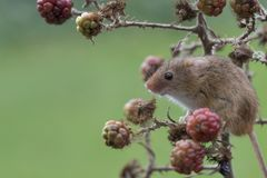 Free Harvest Mouse, Mice Close Up Portrait Sitting On Thistle, Corn, Wheat, Brambles, Sloe, Daisy, Flowers Stock Photo - 103424900