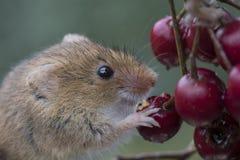Harvest mouse, mice close up portrait sitting on thistle, corn, wheat, brambles, sloe, daisy, flowers Stock Photo