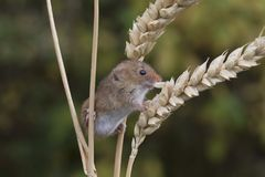 Harvest mouse, mice close up portrait sitting on thistle, corn, wheat, brambles, sloe, daisy, flowers Stock Photo
