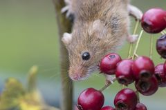Harvest mouse, mice close up portrait sitting on thistle, corn, wheat, brambles, sloe, daisy, flowers Stock Images