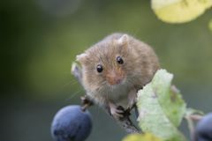 Harvest mouse, mice close up portrait sitting on thistle, corn, wheat, brambles, sloe, daisy, flowers Stock Photography