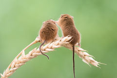 Harvest Mouse. 2 Harvest Mice sat on a stalk of wheat Stock Photography