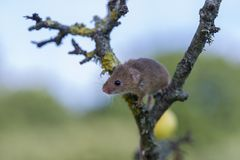 Harvest Mouse - Micromys minutes. A harvest mouse - Micromys minutes climbing on tree branch and using prehensile tail to keep grp stock photo