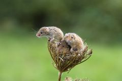 Harvest Mouse - Micromys minutes. Harvest mice - Micromys minutes climbing on dead seed heads stock images