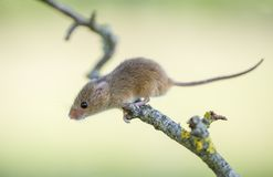 Harvest Mouse - Micromys minutes. Harvest mice - Micromys minutes climbing on tree branch stock images