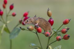 Harvest Mouse - Micromys minutes. A harvest mousee - Micromys minutes climbing on tree branch among rose hips and using prehensile tail to keep hold royalty free stock images