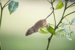 Harvest Mouse - Micromys minutes. A harvest mousee - Micromys minutes climbing on tree branch and using prehensile tail to keep hold royalty free stock photo