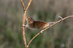 Harvest mouse, Micromys minutus. Climbing up stem stock photos