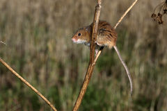 Harvest mouse, Micromys minutus. Climbing up stem royalty free stock images