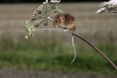 Harvest mouse, Micromys minutus Stock Photos