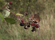 Harvest mouse, Micromys minutus. Climbing up stem royalty free stock image