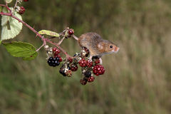 Harvest mouse, Micromys minutus. Climbing up stem stock image