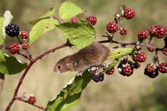 Harvest mouse, Micromys minutus Royalty Free Stock Image