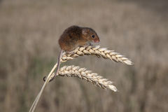 Harvest mouse, Micromys minutus. Climbing up stem stock images
