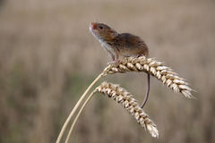 Harvest mouse, Micromys minutus. Climbing up stem royalty free stock photography