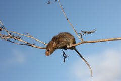 Harvest mouse, Micromys minutus. Climbing up stem royalty free stock photos