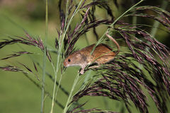 Harvest mouse, Micromys minutus. Climbing up stem royalty free stock photo
