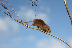 Harvest mouse, Micromys minutus. Climbing up stem stock photo