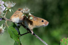 Harvest Mouse (Micromys Minutus) Stock Photography