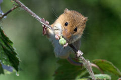 Harvest Mouse (Micromys Minutus). Harvest Mouse clinging to blossom laden branch royalty free stock image