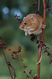 Harvest Mouse (Micromys Minutus). Harvest Mouse clinging to red stalk stock photo