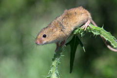 Harvest Mouse (Micromys Minutus). Harvest Mouse clinging to Thistle stalk stock images