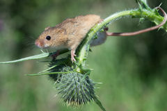 Harvest Mouse (Micromys Minutus) Stock Image