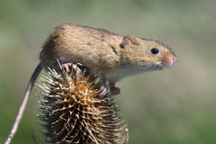 Harvest Mouse (Micromys Minutus). Harvest Mouse clinging to Thistle stalk royalty free stock photos