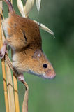 Harvest Mouse (Micromys Minutus). Harvest Mouse clinging to yellow stalk of Barley royalty free stock images