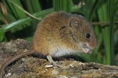 Harvest Mouse. Micromys minutus Stock Photos