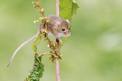 Harvest mouse, Micromys minutus. Single animal on stem, Captive, July 2011 stock photography