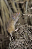 Harvest mouse, Micromys minutus. Single mouse on plant, UK royalty free stock photography