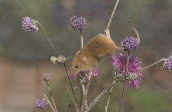 Harvest mouse, Micromys minutus. Single mouse on plant, UK royalty free stock images