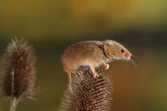 Harvest Mouse Stock Image