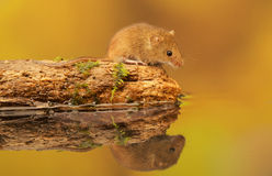 Harvest mouse pitstop. A little cute harvest mouse on an old log looking at the water reflection royalty free stock images