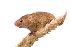 Harvest Mouse in profile. Micromys minutus or Harvest Mouse in wheat field Stock Photo