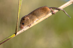 Harvest mouse on reed Stock Photo