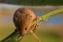 Harvest mouse on reed stem Royalty Free Stock Photos