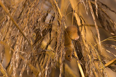 Harvest mouse in reeds Royalty Free Stock Photos