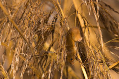 Harvest mouse in reeds Stock Image