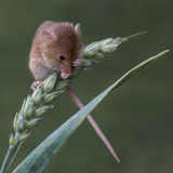 Harvest mouse in Surrey. A harvest mouse on the ear of a cereal plant on a field near Surrey, England royalty free stock photography