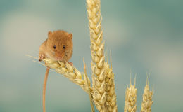 Harvest mouse on wheat. A little cute harvest mouse on wheat looking at the camera Royalty Free Stock Image