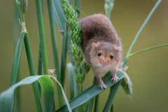 Harvest Mouse on wheat. Very close image of a harvest mouse balancing on the stems of wheat corn crops and staring forward stock images