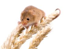Harvest Mouse on white Royalty Free Stock Image