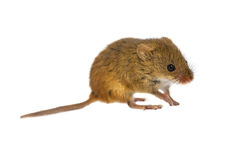 Harvest Mouse on white Stock Photos