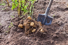 Harvest of new potatoes Stock Photo