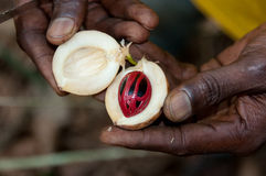Harvest nutmeg. The hands that open the fruit of the nutmeg plant to extract the precious spice into plantations in the island of Zanzibar - Tanzania Stock Images
