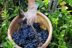 Harvest in October Oltrepo Pavese italy Royalty Free Stock Photo