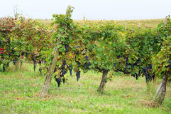 Harvest in October Oltrepo Pavese italy Stock Photography